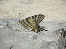 yellow butterfly with closed wings