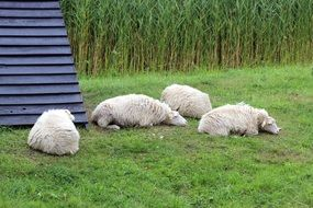 Beautiful and cute sheeps on the meadow