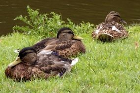 family of brown ducks resting on the shore of the pond
