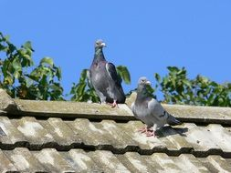 couple of post pigeons