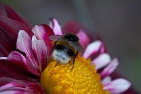 bee on the dahlia hortensis flower