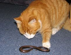ginger cat and a snake