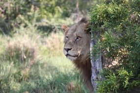 Wild lion in South Africa