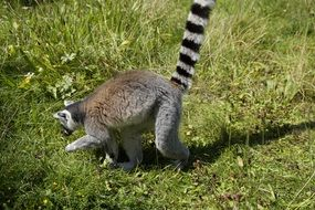 curious ring tailed lemur