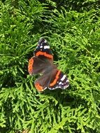 butterfly on a coniferous green plant
