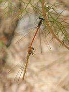 mating dragonflies on a plant branch