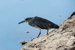 pond heron in india