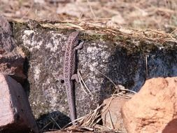 gray lizard on a stone on a sunny day