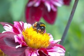 bee pollinating dahlia hortensis flower