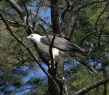 White-Bellied-Sea-Eagle in Ä°ndia