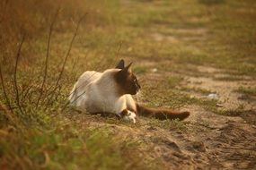 siamese cat reclining outdoor