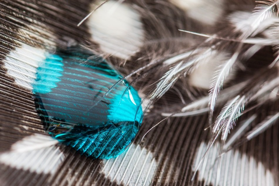 blue water drop on the guineafowl feather