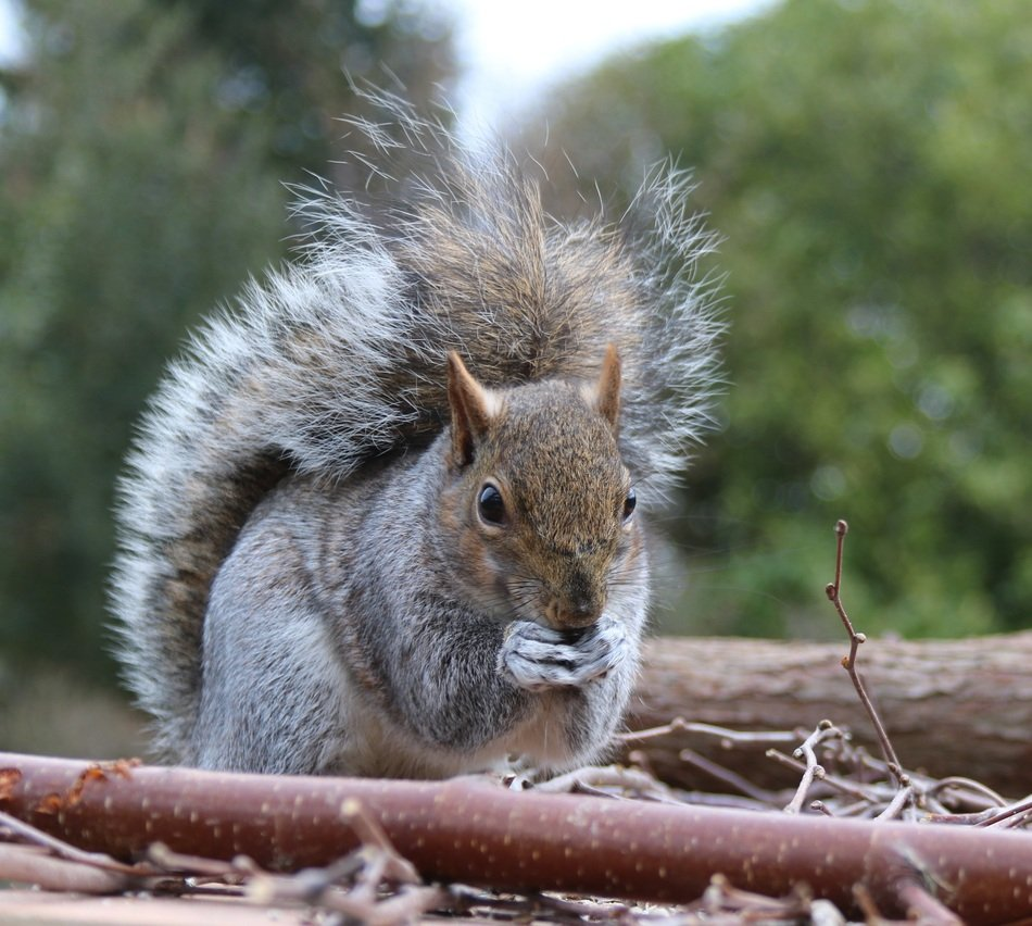 grey squirrel in wildlife