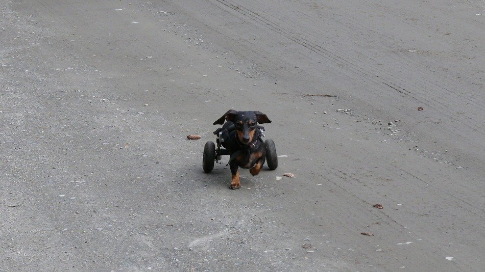 poor dog on wheels