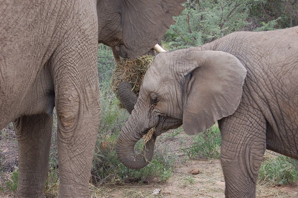 wild elephant with child in namibia