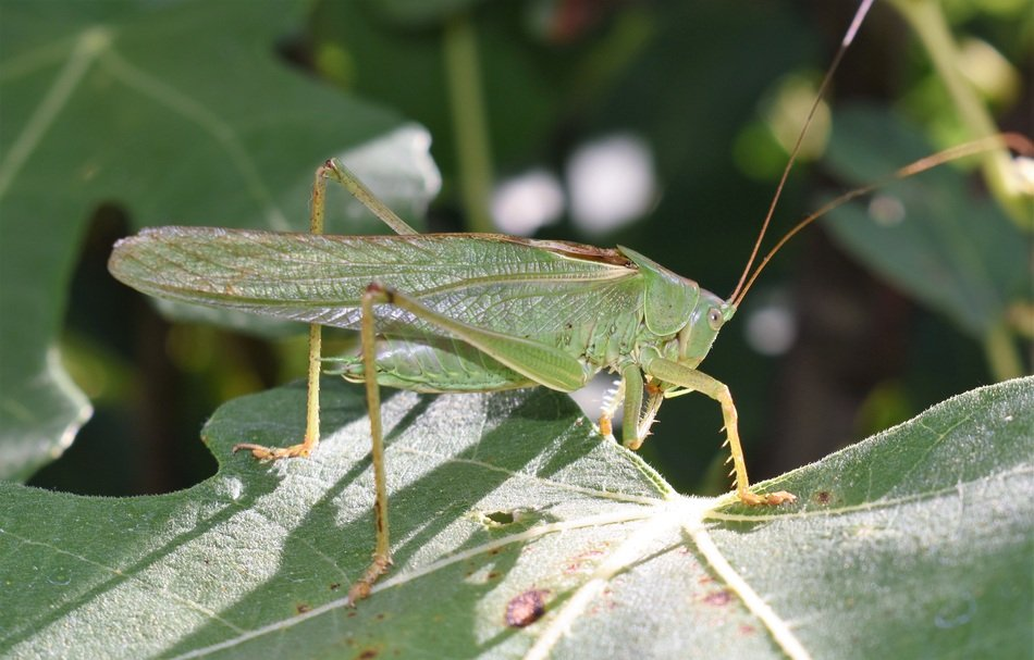 wild grasshopper on the green leaf