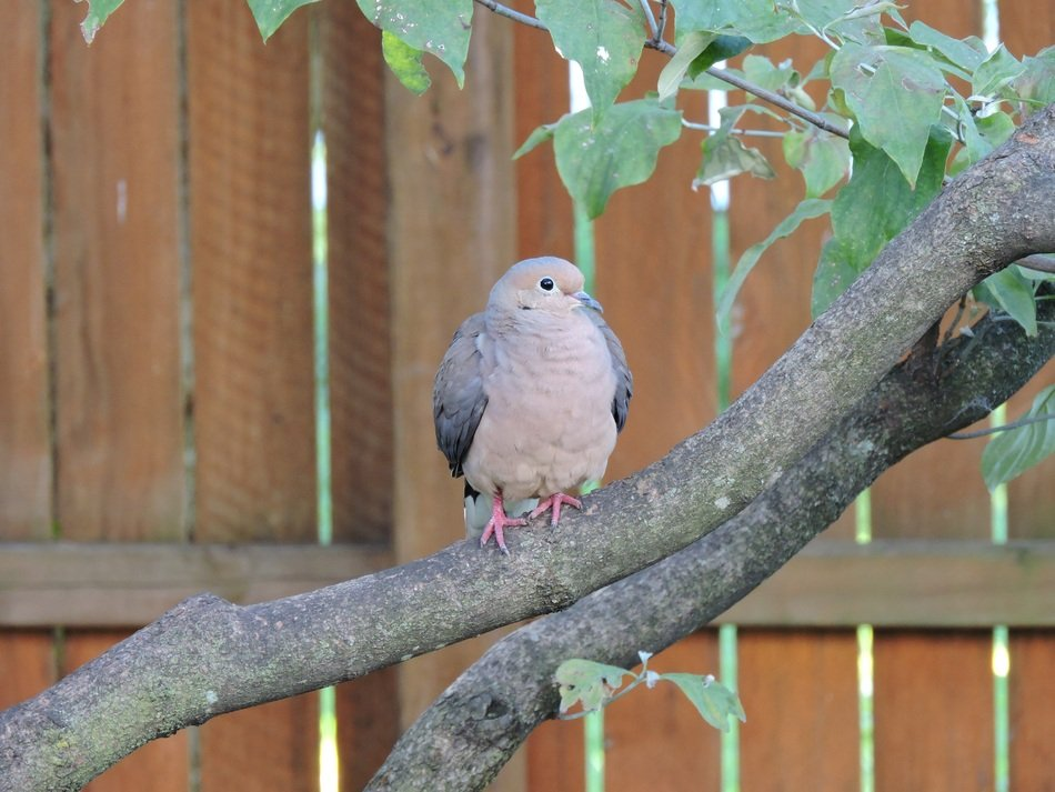 mourning dove on the tree