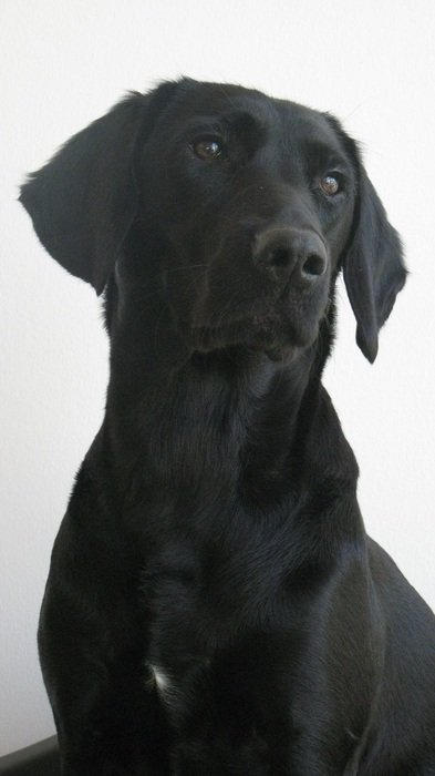 portrait of a black labrador