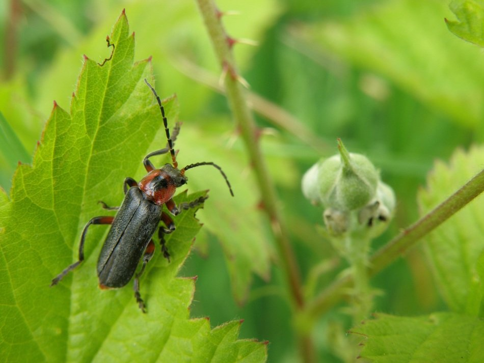 longhorn beetle on the green bush