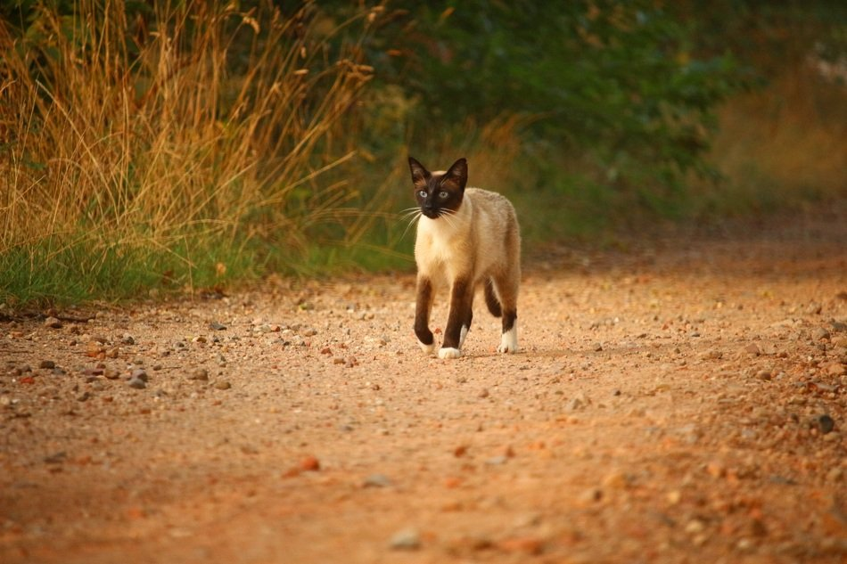 majestic siamese cat walking outdoor