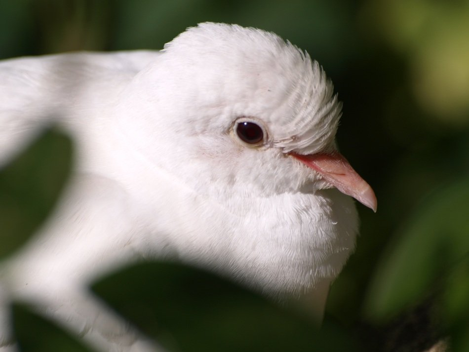 portrait of a white dove
