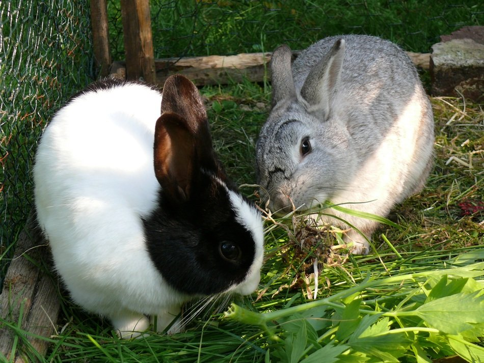 dwarf rabbits eating grass