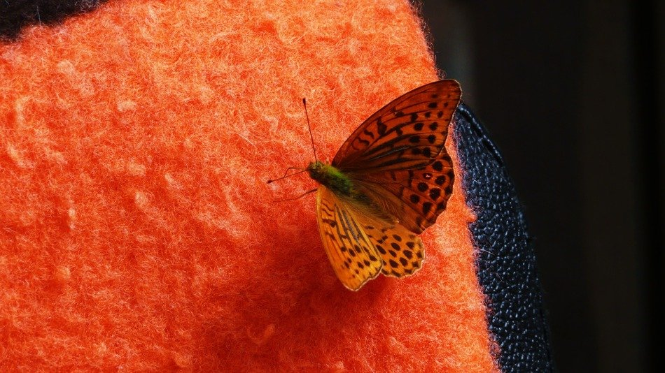 high brown fritillary on the red fabric