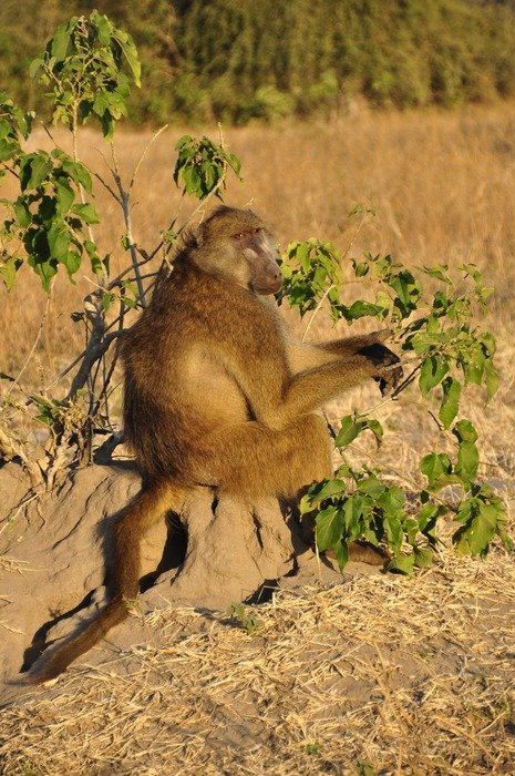 sitting baboon in Botswana