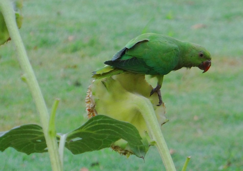 ring-necked parakeet in wildlife
