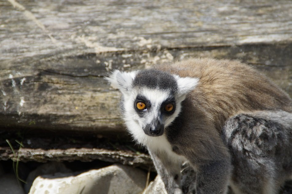 funny ring tailed lemur