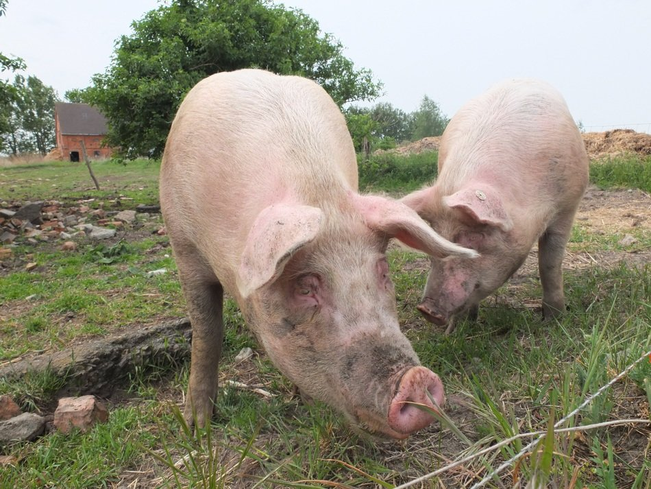 Pigs Out Animal Husbandry