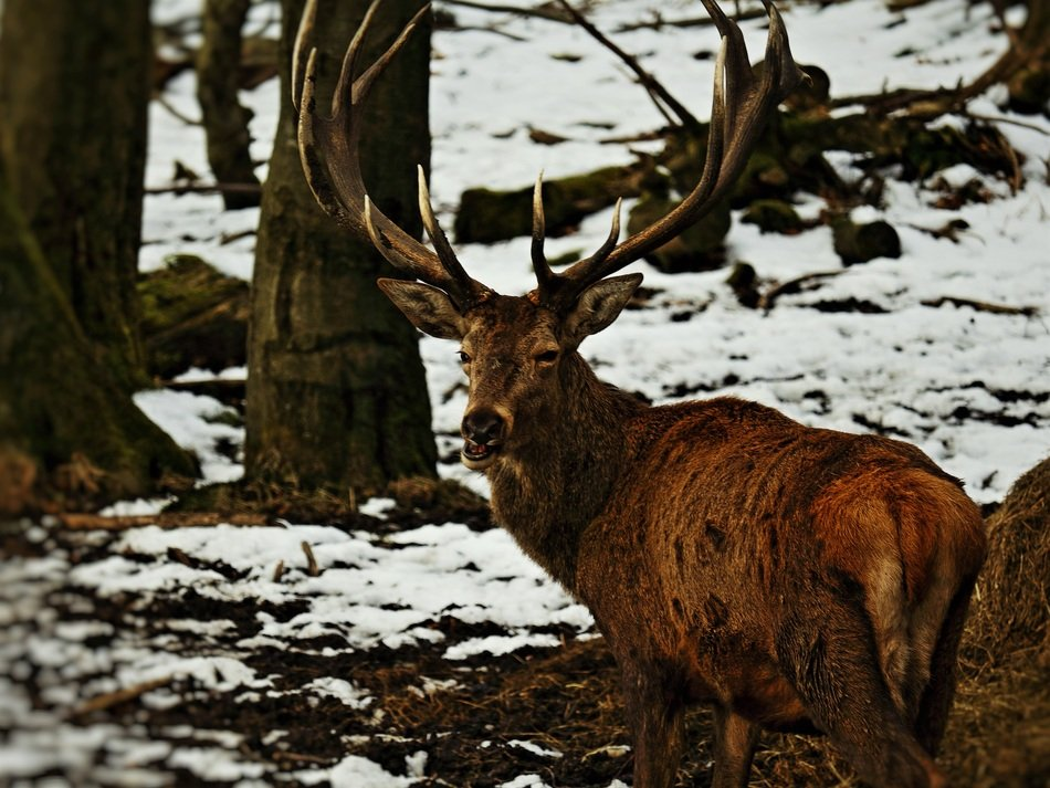 roe deer in the winter forest