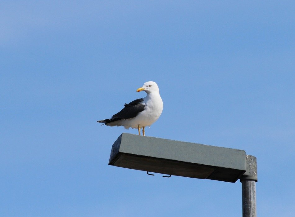 herring gull on the street lamp