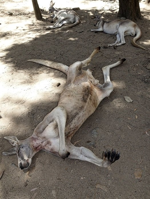 sleeping kangaroos in Australia