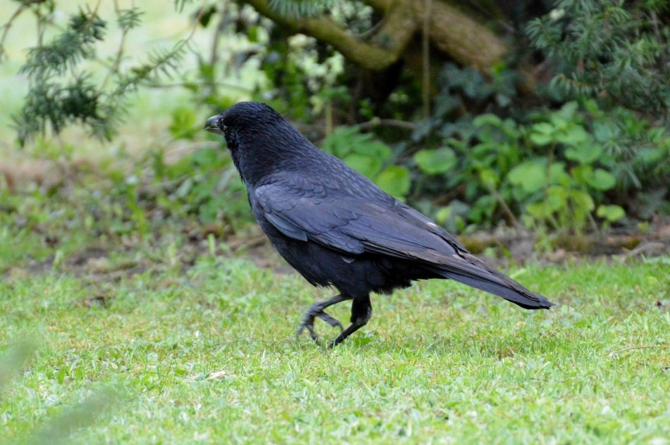 black raven on the green grass