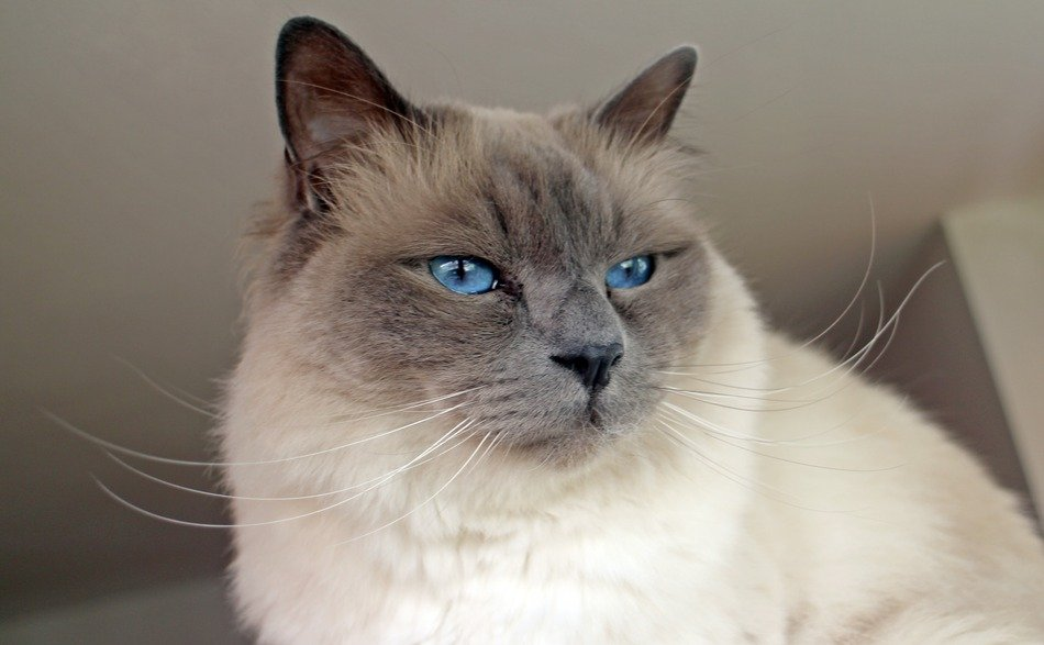 portrait of a thoroughbred sacred birman cat