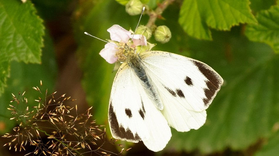 white cabbage butterfly in wildlife