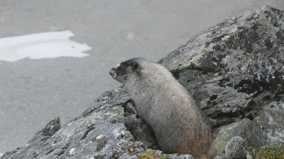 charmingly cute Marmot Rodent