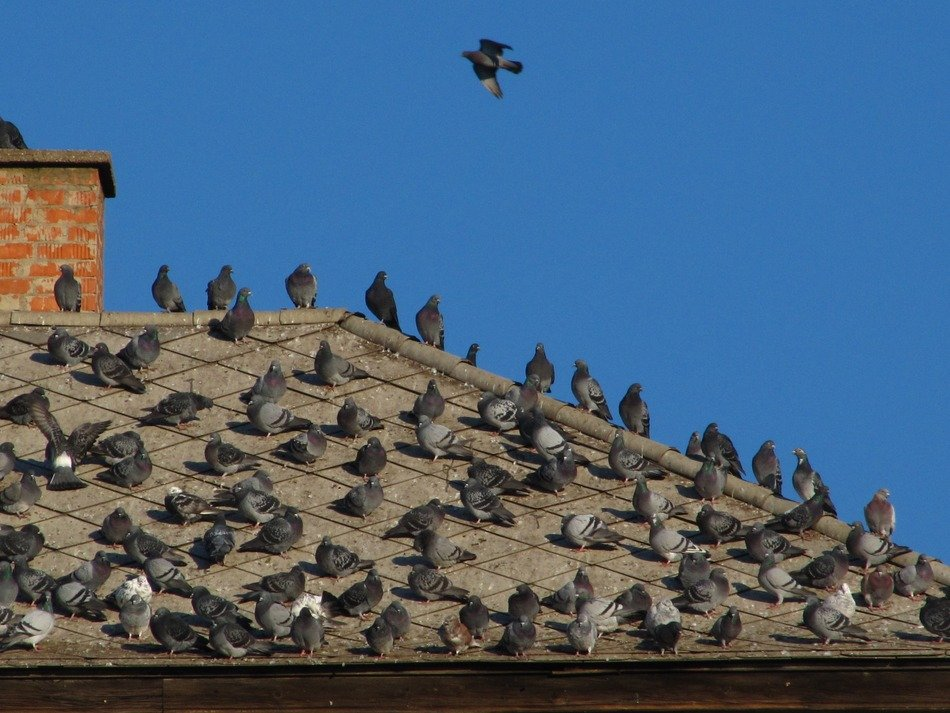 pigeons on the rooftop