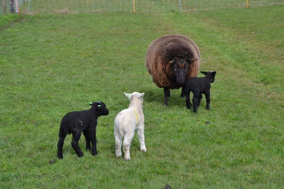 sheep with three lambs