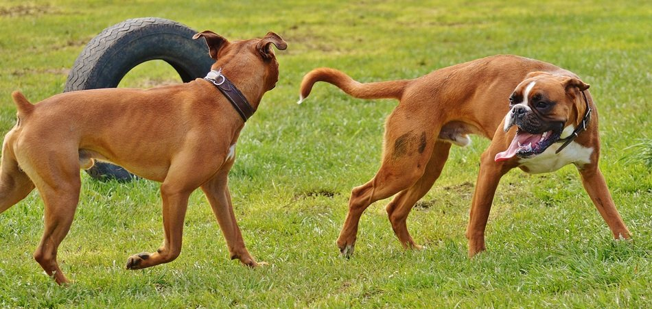 playing boxer dogs
