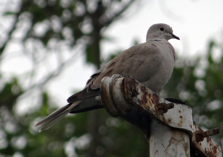 perched eurasian collared dove