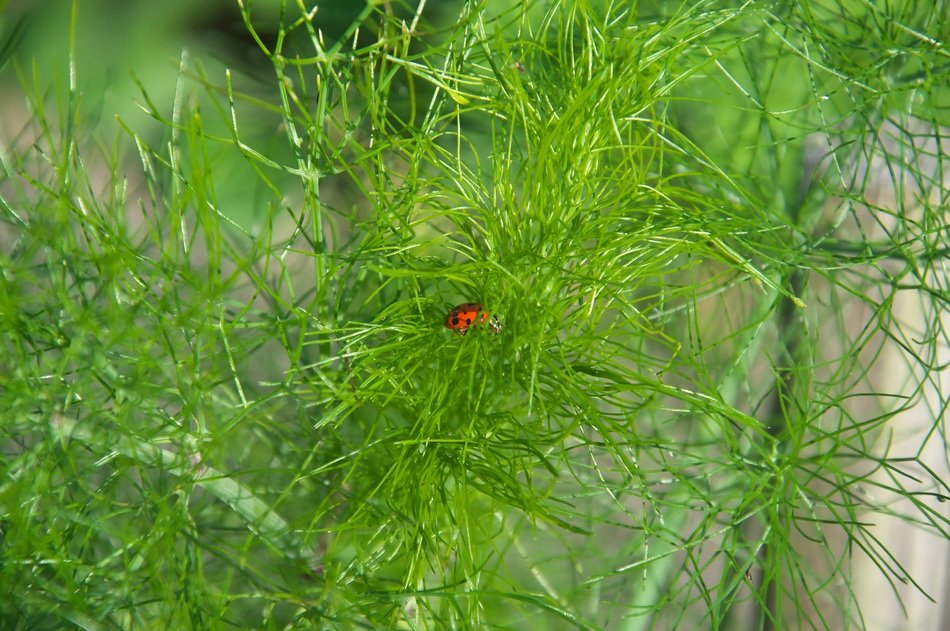 ladybug in the green dill