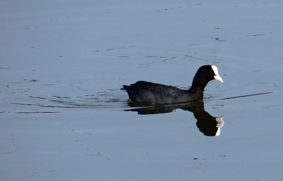 eurasian coot swims in the sea in India
