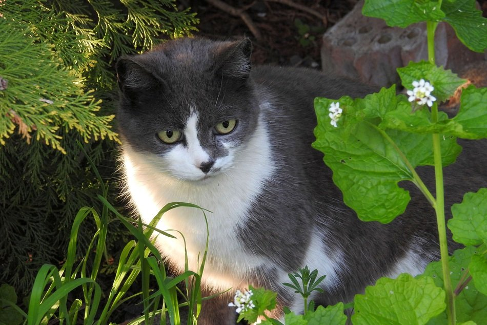 domestic cat hiding in garden plants