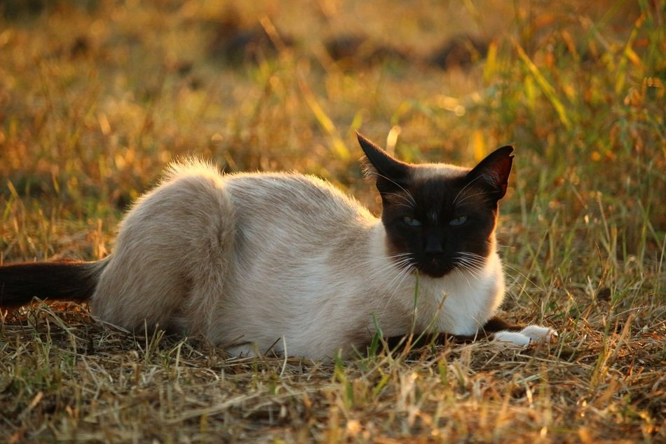 siamese cat resting in the evening