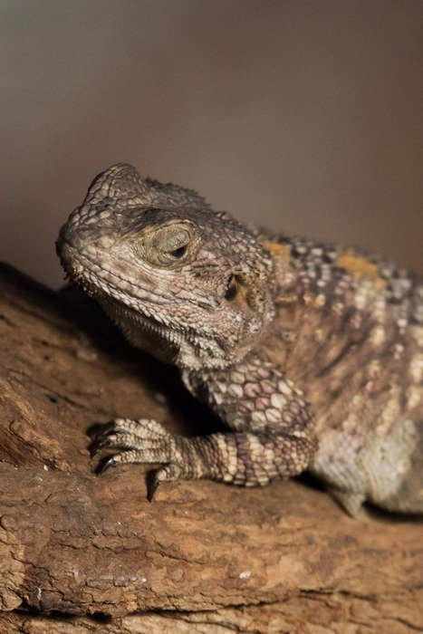 scaly bearded dragon