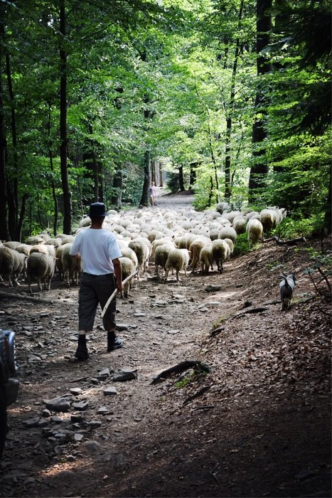 landscape of flock of sheep and shepherd on a forest road
