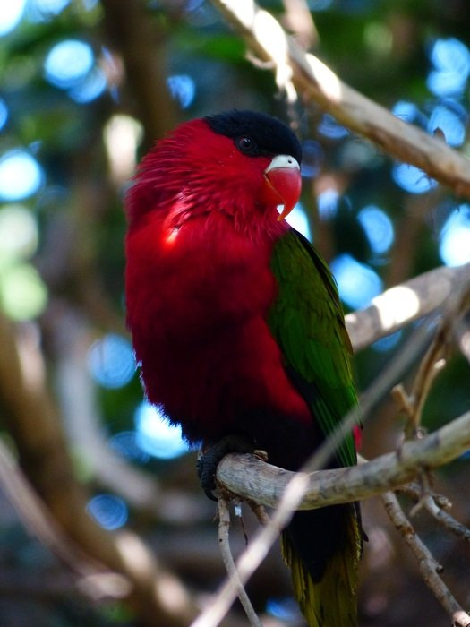 red lory in wildlife