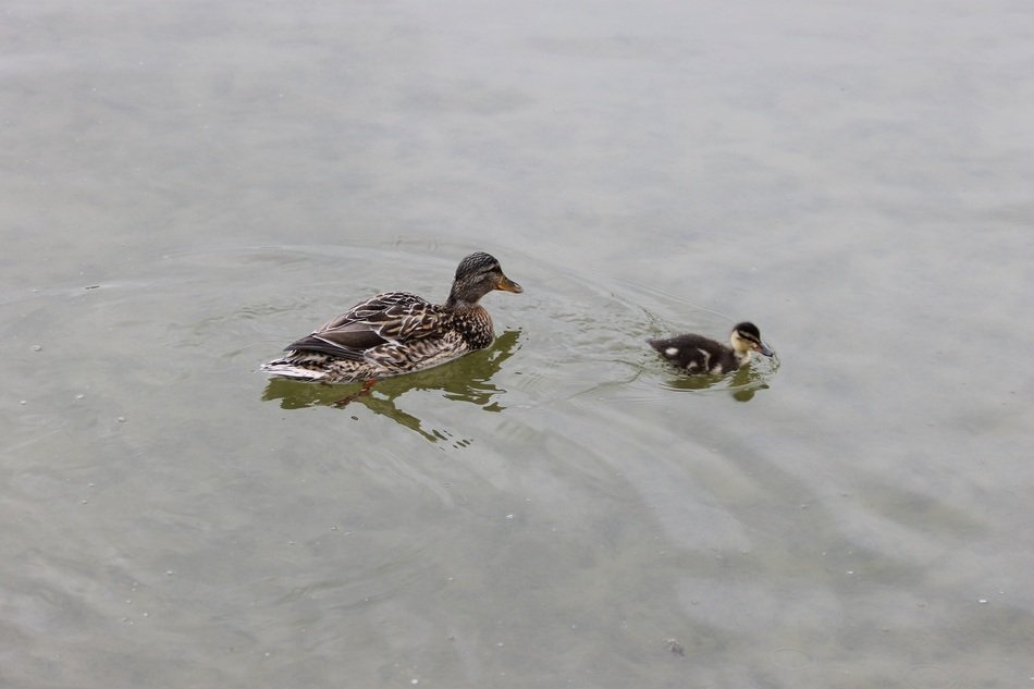 duck with duckling in the pond